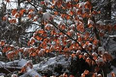 nature (bulbocode909) Tags: valais suisse arbres forêts feuilles neige hiver orange