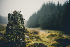And The Road Runs By (i-r-paulus) Tags: fernworthyforest stump lichen forest dartmoor moody misty magical path