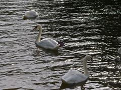549-39L (Lozarithm) Tags: chippenham kx rivers riveravon swans sigma 70300 sigmaaf70300mmf456apodgmacro