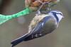 Blaumeise im Regen - Blue tit in the rain (riesebusch) Tags: berlin garten hornetweg11 marzahn vögel