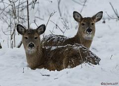 021818103208asmweb (ecwillet) Tags: deer wildwoodparkharrisburgpa nikon nikond500 nikon200500f56 ecwillet ericwillet