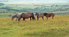 Dartmoor Ponies 01 (Cornishcarolin. Thank you for over 2 Million Views) Tags: devon httpwwwdartmoorgovuk ponies animals landscape nature mammals 1001nights 1001nightsmagiccity 1001nightsmagicpeacock