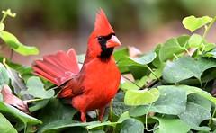 From the window DSC_9553 (blthornburgh) Tags: thornburgh florida bird songbird red redbird cardinal cardinaliscardinalis malecardinal backyard pipevine sunshinestate