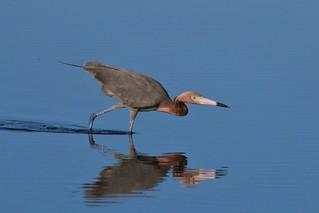 Sleuthing Reddish Egret