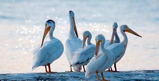 Preening Pelicans
