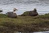 FLYSTEDUCs 1987 (bryanjsmith62) Tags: flyingsteamerduck tachyerespatachonicus ducksgeeseandwaterfowl anatidae birdsofchile