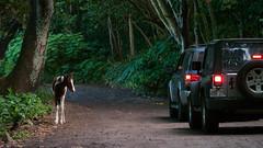 Waipio (66) (BoyUtot) Tags: waipiovalley waipiofalls waimea surfing hiking trekking dronephotography mavic panasonicgh1 hawaii bigisland lumix 100300mm travel nature landscape seascape honokaa ramesesmendoza