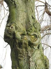 Karma Chameleon (Glass Horse 2017) Tags: guisborough karmachameleon frogmouth mickjaggerlips monstertrollface chameleoneye tree pareidolia
