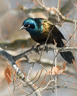 Just a Common Grackle....love the way he glows in the sunshine though! (Explore)