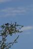 IMG_3407 (armadil) Tags: edgewoodpark bird birds jay jays scrubjay