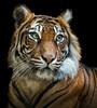 Tiger close up (dickiebirdie68) Tags: tiger sumatrantiger portrait animal nature wildlife beautiful colors colours bigcat predator