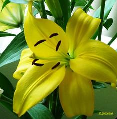 Lilium.....P1120876P (gtercero) Tags: 20150602 lilium gtercero