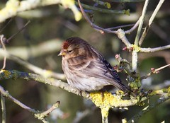 Redpoll (1 of 3) - Taken at Sywell Country Park, Sywell, Northamptonshire. UK (Ian J Hicks) Tags: