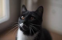 curiosity (marco monetti) Tags: cat gatto kitten kitty micio whiskers vibrisse eyes occhi beautiful bello catmoments