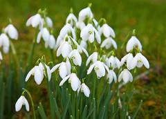 Winter Snowdrops (Adam Swaine) Tags: wildflowers flora flowers snowdrops churchyard kent winter petals england english britain british seasons uk ukcounties beautiful naturelovers nature canon 2018 kentweald naturesfinest