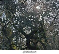 Mossy Oak Branches in Hazy Winter Sunlight (Sherwood Harrington) Tags: california santaclaracounty saratoga oak moss branches sunlight haze