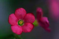 flower 1355 (kaifudo) Tags: sapporo hokkaido japan botanicalgarden flower hokkaidouniversity greenhouse oxalisdeppei オキザリス・デッペイ 札幌 北海道 北大植物園 温室 nikon d810 sigmaapomacro105mmf28 sigma 105mm