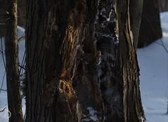 Le congélo des grands pics (bd168) Tags: hiver givre soleilcouchant grandspics neige oiseaux trees woodpeckers birds frost winter 90mm fujixt10 prime lenses