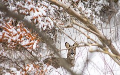 Cold and hungry...xx (shona.2) Tags: scotland hiding berries bushes dunes snow wildlife nature beach deer roedeer