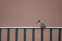 Urban Kingfisher (Daniel Trim) Tags: kingfisher bird birding birds urban city nature town wildife wildlife alcedo atthis commonkingfisher hertfordshire