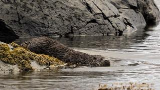 Otter_MG_9402