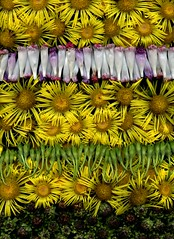 58759.01 Inula helenium, Ipomoea (horticultural art) Tags: horticulturalart inulahelenium inula horseheal ipomoea morningglory flowers goneby buds strata lines