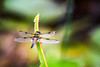Broken wings (Rico the noob) Tags: dof 300mm nature d500 switzerland outdoor insect animal tc14eiii 2017 macro dragonfly 300mmf4pf published animals zurich bokeh schweiz closeup