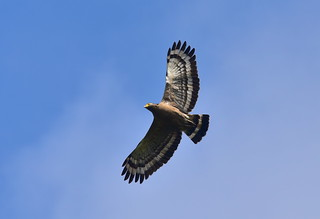 Crested serpent eagle in flight