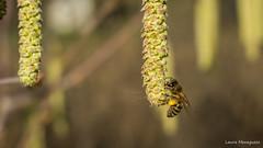 Soffio di polline (laura.mnz) Tags: giallo nero nocciolo polline insetto cibo ape animale macromondays