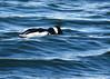 RBME looking (Kelly Preheim) Tags: redbreasted merganser birds waterfowl south dakota