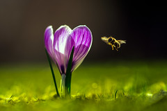 On approach (der_peste (on/off)) Tags: crocus krokus krokusse biene bee insect macro proxy flower spring springtime color freeze