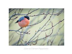 Il est gourmand. (Les Frères des Bois) Tags: bouvreuil bouvreuilpivoine pyrrhulapyrrhula bird oiseau bourgeon hiver rose pink