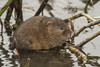 WATER VOLE (_jypictures) Tags: animalphotography animals animal canon7d canon canonphotography wildlife wildlifephotography wiltshire watervole nature naturephotography photography pictures