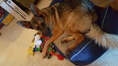20161225_104515 (awinner) Tags: 2016 christmas christmas2016 dalilah december2016 december25th2016 dog dogbed germanshepherd holidays home largoflorida puppy toys