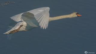 cisne común