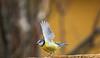 la vulnerabile (Danilo Agnaioli) Tags: umbria perugia italia collinedelperugino bird canon7dmarkii sigma150500 inverno gennaio ali colori