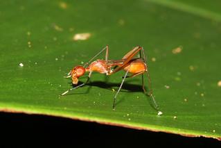 Diptera, Micropezidae sp. (Fly) - Singapore