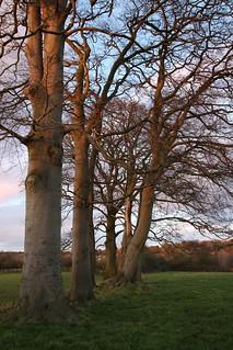 Sunset Beeches