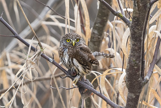 Pygmy Owl Home Again (2 of 3 pics)