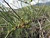 Asparagus arborescens - Asparagaceae (Kerry D Woods) Tags: tenerife malpaisguimar asparagus arborescens asparagaceae