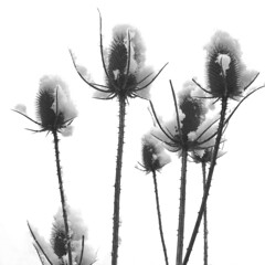 winter bouquet (Rosmarie Voegtli) Tags: snow ice winter dornach plants iphone blackandwhite blackwhite