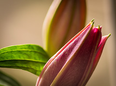 Lilies 🌷 (EYeardley) Tags: lilies lily flower flowerbud flowerphotography floral nikond3300 nikon nikonphotography sigma macro closeup flowercloseup soft pretty softfocus bokeh shallowdof dof depthoffield splittone