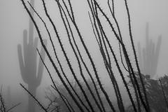 Tum020_small (patcaribou) Tags: tucson tumamochill sonorandesert fog cactii saguarocactus