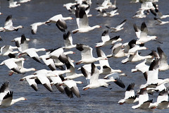 Snow Geese Migration 02.20.18 (Lee J2) Tags: snowgeese waterfowl migration middlecreek pennsylvania wildlife tamron150600 canon7d ansercaerulescens