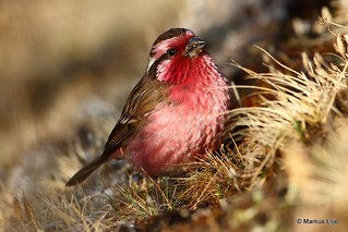 Himalayan White-browed Rosefinch