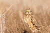 Short-eared Owl with little tufts of feathers for ears. (Insu Nuzzi) Tags: sandiego california unitedstates us