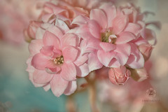 We don't see things as they are, we see them as we are. (Zara Calista) Tags: dreamy pink floral flower bokeh kalanchoe blassfeldiana blue teal light white nikon tamron 180mm d750 san california sandiego