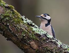 Pic épeiche (guiguid45) Tags: nature sauvage oiseaux bird picidés forêt loiret d810 nikon 500mmf4 picépeiche dendrocoposmajor piciformes affût