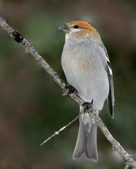 Durbec (Marie-Helene Abitibi) Tags: oiseau abitibi valdor côtede100pieds loft durbec durbecdessapins mariehélène mariehelene