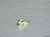 Smew (Corine Bliek) Tags: mergellusalbellus bird birds vogel vogels watervogel waterbird meer lake water natuur nature wildlife winter white